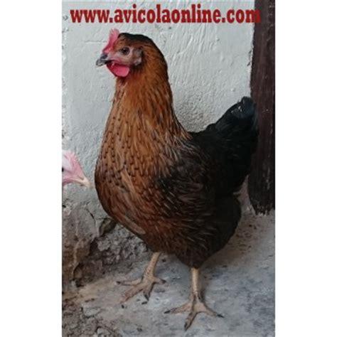 imagenes gallinas negras fotos de gallinas negras shaver en espa 209 a 3009728
