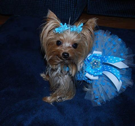 teacup yorkies in michigan 322 best priceless yorkie puppy images on