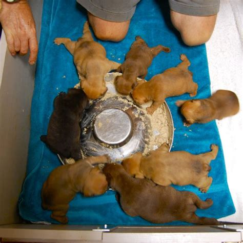 weaning puppies weaning puppies driverlayer search engine