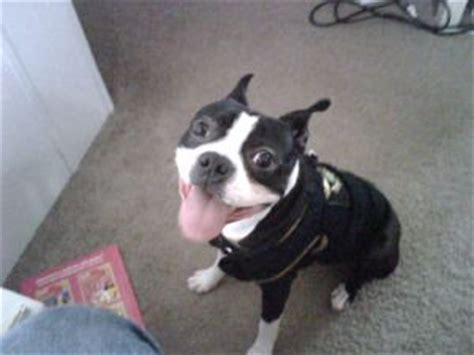 boston terrier puppies for sale in michigan boston terrier puppies in michigan
