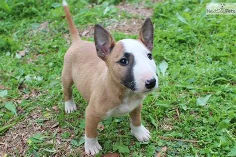 miniature bull terrier puppies puppies for sale spaniel breeders american