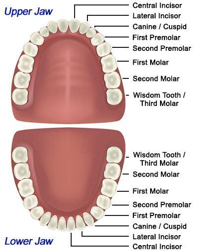 how many teeth does an vc dental tooth anatomy education