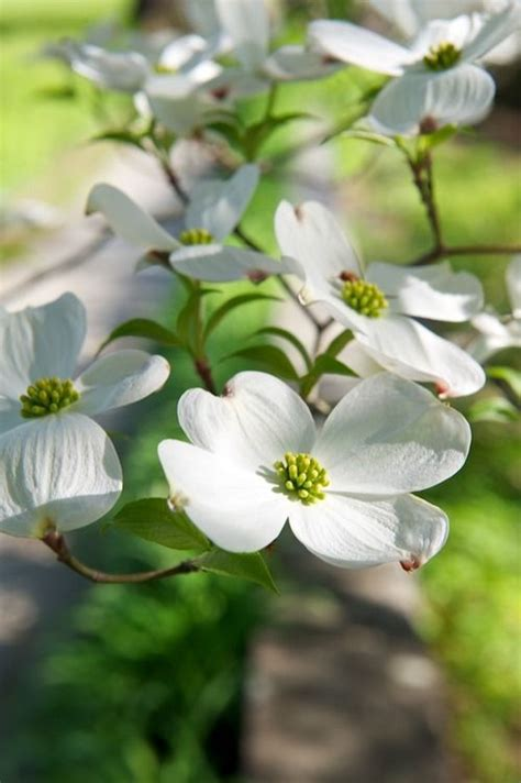 north carolina flower 17 best images about dogwood nc flower on pinterest