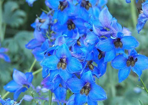 blau bluehende rosenbegleitstauden