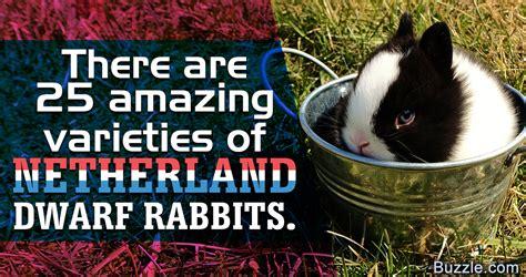 netherland rabbit colors netherland rabbit colors