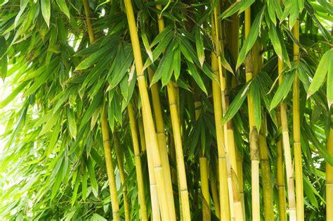 bambus winter bambus verliert bl 228 tter 187 was k 246 nnen sie dagegen tun