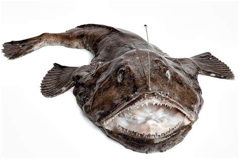 cucinare rana pescatrice in umido rana pescatrice pesce in cucina