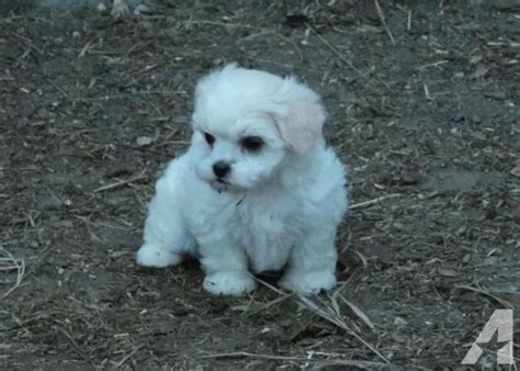 shih tzu puppies mn shih poos shih tzu x poodle puppies for sale in janesville minnesota classified