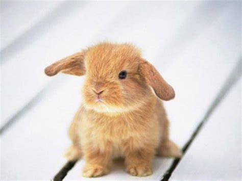 Adorable Pets by Wallpapers Rabbit Wallpapers