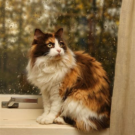pin  cats persian maine coon norwegian forest