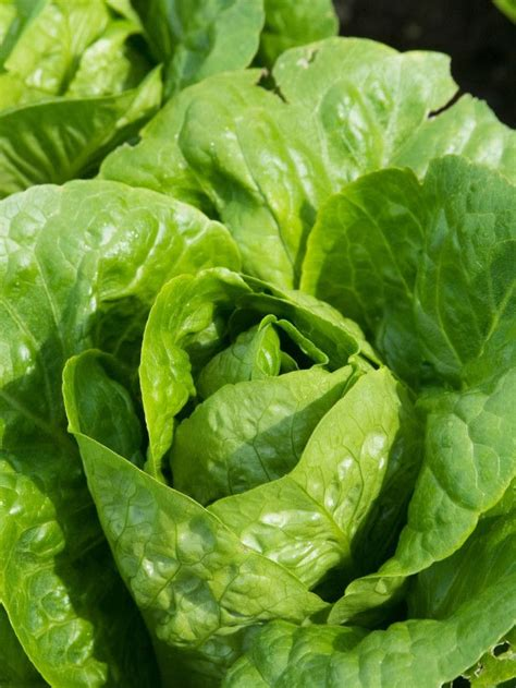 lettuce varieties    containers http