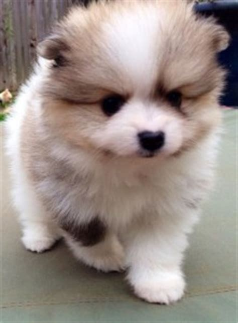 pomeranian for sale in fresno ca pets fresno ca free classified ads