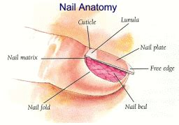 nail bed anatomy nail anatomy physiology nail fungus minneapolis nail fungus mn