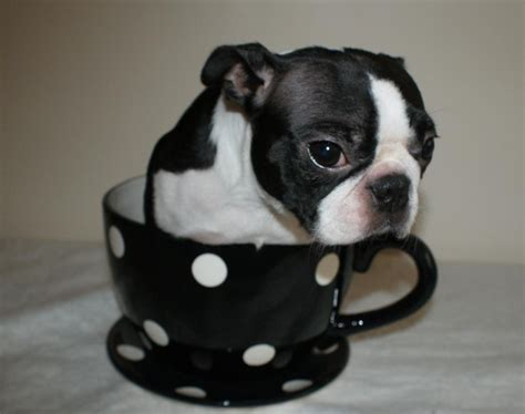 miniature boston terrier puppies for sale in ohio miniature boston terrier puppy for sale breeds picture