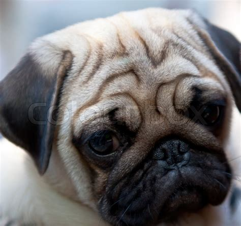 wrinkly pug related keywords suggestions for wrinkly pug