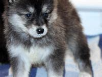 are pomeranians hypoallergenic dogs 21 best images about puppies on siberian husky puppies pomeranian husky