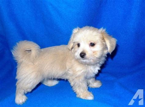 malchi puppies malchi puppy maltese chihuahua 8 weeks boy for sale in riverside california