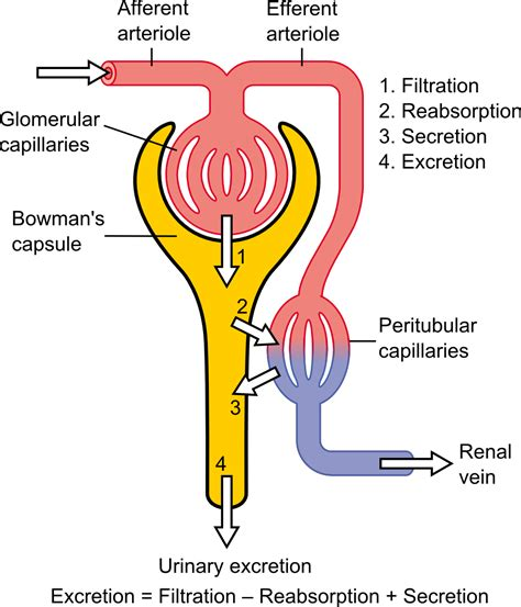 which section of the nephron filters blood plasma renal function wikipedia