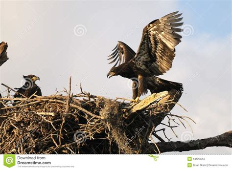 b3 the baby eagle based on a true story books eagles in the nest stock images image 14627614