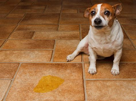 Long Island Dog Boarding Solutions For A Dog That Pees In