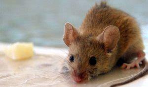 topo in cucina escrementi di riccio o topo vicenza disinfestazioni