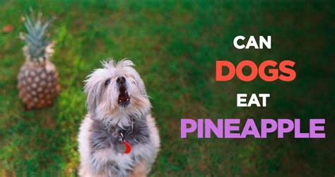 can puppies eat pineapple can dogs eat pineapple a healthy treat alternative for your pup