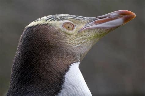 File:Yellow-eyed Penguin head.jpg - Wikimedia Commons