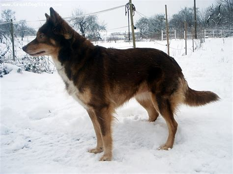 indian names for dogs a photo of a 7 brown american indian flint of song