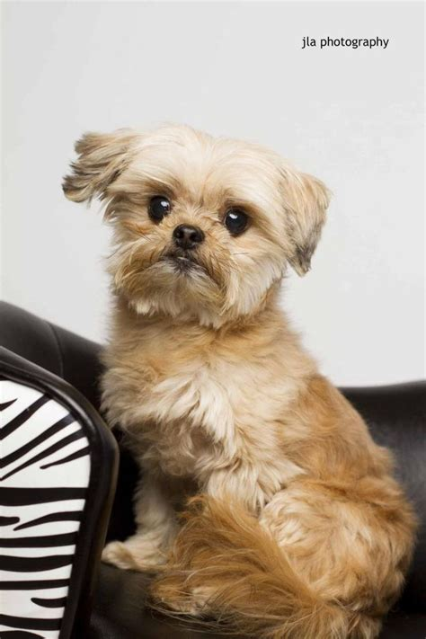 shih tzu rescue louisiana best 25 shih tzu rescue ideas on boxer quotes my and shih tzu