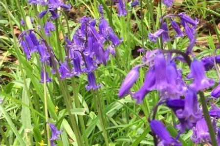 bluebell bulbs   green order  ashridge