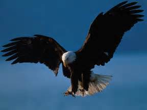 Bald eagle is a species of eagle species the most popular bald eagle