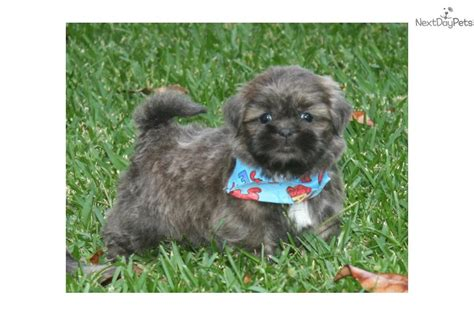 maltese shih tzu breeders vic maltese x shih tzu puppies for sale in ararat doggish design breeds picture