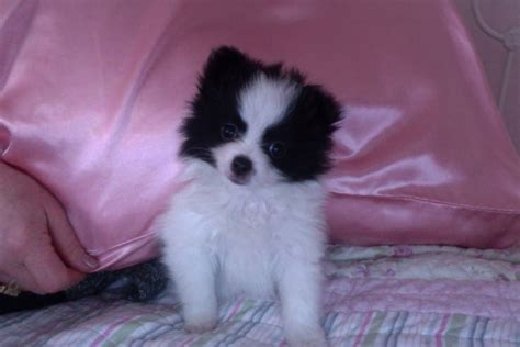 black and pomeranian puppies puppy dogs black and white pomeranian puppies