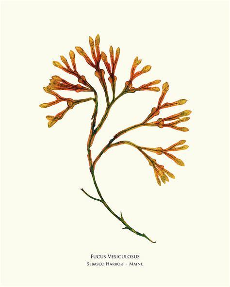 pressed seaweed print fucus vesiculosus sebasco harbor