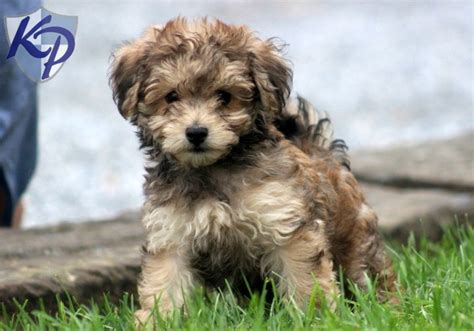 havanese poodle for sale nibbles havapoo puppy havapoo keystonepuppies