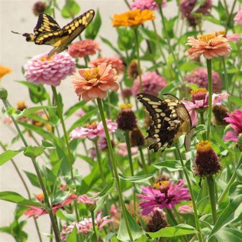 Butterfly Garden Seeds by Zinnia Elegans Seeds For Your Butterfly Garden