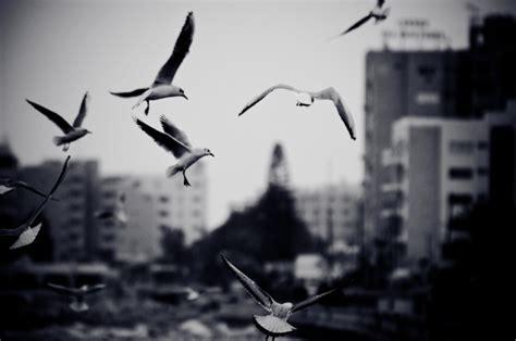 imagenes gratis blanco y negro paisaje urbano con gaviotas foto en blanco y negro con