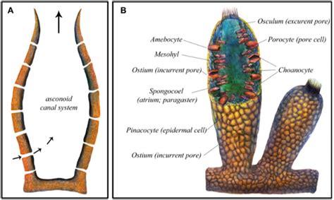 sponge diagram 600 million year old sponge said to show when