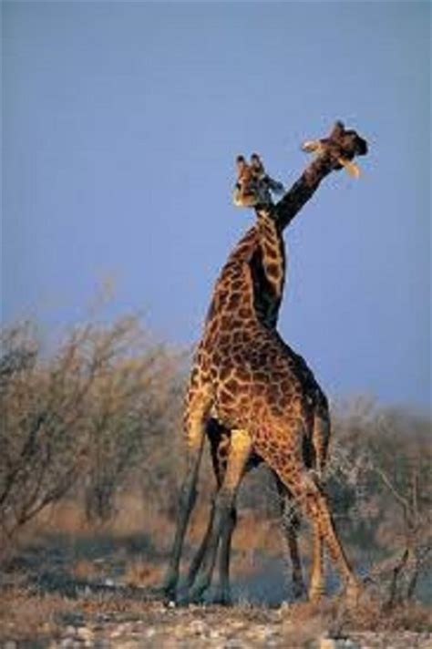 imagenes reales de jirafas 6 fotos de jirafas