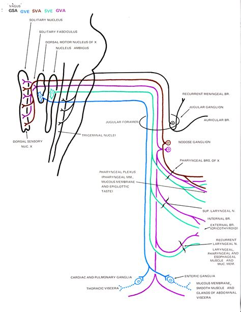 diagram of the vagus nerve nerve archives page 2 of 19 human anatomy charts