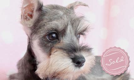miniature schnauzer puppies for sale florida 1000 images about animals often dogs on standard schnauzer shetland