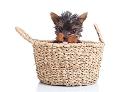 everything to about yorkies the about teacup yorkies everything you need to about teacup mini micro