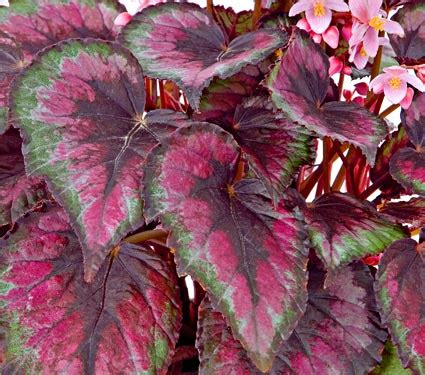 plants that grow in complete darkness begonia rex flower care instructions