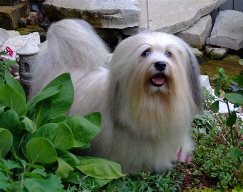 types of havanese all list of different dogs breeds havanese