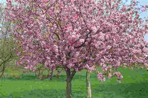 lovely gardening questions 4 prunus royal burgundy cherry tree laurensthoughts