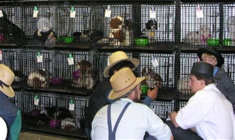 amish puppy mills ohio petition drive to ban auctions and curb ohio puppy mills continues animals in the