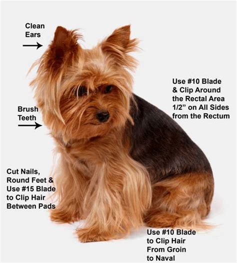 grooming my yorkie the world s catalog of ideas