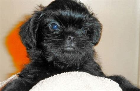 affenpinscher puppies for sale affenpinscher puppies for sale in vancouver