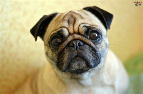 pug s pugs and eye disorders recognising there s a problem pets4homes
