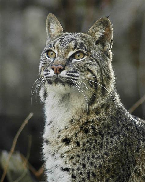 Animal Picture: Bobcat - Lynx